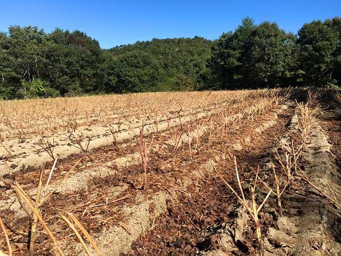 刈り取り後のえごま畑です。